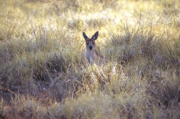 overlanding in Oz - wild kangaroo